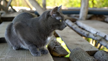 Gray Cat Sits Under The Roof Of The Barn On Wooden Boards.