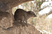 Close-up Of Rock Hyrax On Rock
