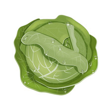 A Head Of Fresh White Cabbage In Drops Of Rain Or Dew. The View From The Top. Vector Illustration Isolated On A White Background. In A Realistic Cartoon Style.
