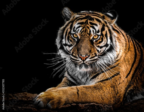 Canvas-taulu portrait of a bengal tiger