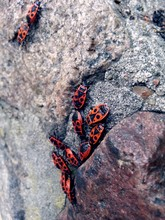 Close-up Of Red Bugs On Rock