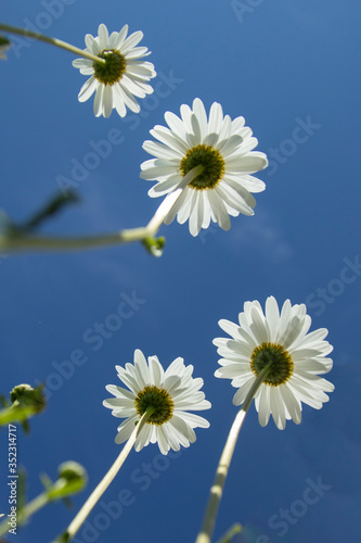 Daisies flower below against a clear sky. Summer concept #352314717