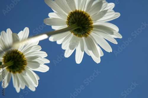 Daisies flower below against a clear sky. Summer concept #352314749
