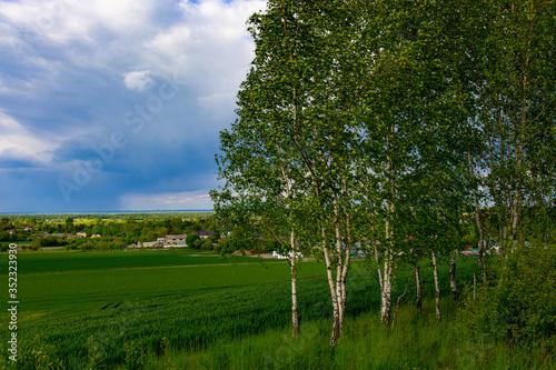 Młode brzozy przy polach rolnych. - 352323930
