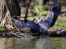 A Great Blue Heron Stands In The Shallows Of The Lake With Wings Outstretched.