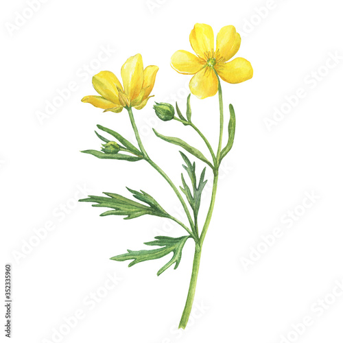 Сloseup of the yellow flower meadow buttercup (known as Ranunculus acris, sitfast, spearworts or water crowfoots) Canvas Print