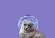 A Cute British Cat Looks At A ...