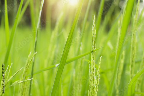 Close-up Of Wheat Growing On Field #352343731