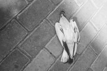 Dead Pigeon On Sidewalk