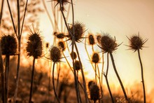 Thistle Against Clear Sky During Sunset