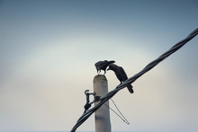 Crow On Electric Pole