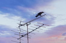 Crow On TV Antenna
