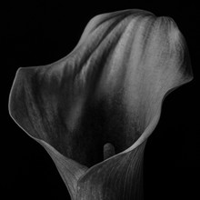 Close-up Of Calla Lily Against Black Background