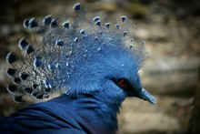 Close-up Of Victoria Crowned Pigeon Outdoors