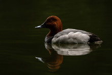 Redhead Duck Reflection At Sun...