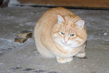 A Phlegmatic Fat Ginger Cat With Green Eyes Sits On A Rustic Floor. The Idea Of A Postcard Or Calendar. The Idea Of Calm