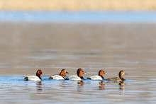 Wild Duck, Common Pochard. Many Of Ducks, Floating On Morning Yellow Water Surface