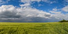 Green Wheat Or Barley Field Wi...