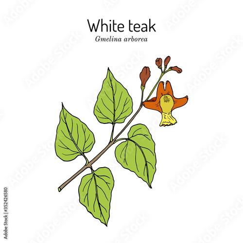 Photo White teak, or Gamari Gmelina arborea , medicinal plant