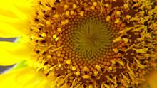 Closeup Of Discs Floret Of A Sunflower.