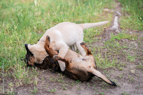 Obraz Mongrel and Labrador dog playing on the lawn - fototapety do salonu