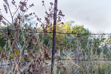 Old Rusted Barbed Wire Fence Among The Dry Burdocks