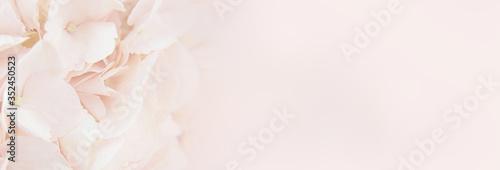 Fototapety, obrazy: Closeup of peach hydrangea flowers