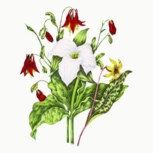 Yellow Adders Tongue, Large White Trillium, And Wild Columbine Flower Bouquet Vector