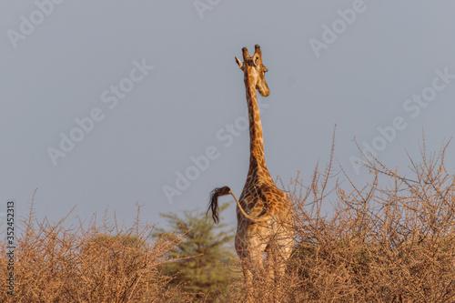 Photo Giraffe wedelt mit Schwanz in freier Wildbahn in Namibia, Afrika