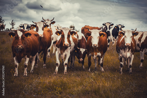 Fotografie, Obraz cows grazing in a field on the cloudy sky background