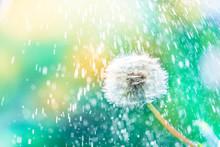 Macro Shot Of A Dandelion.Blue...