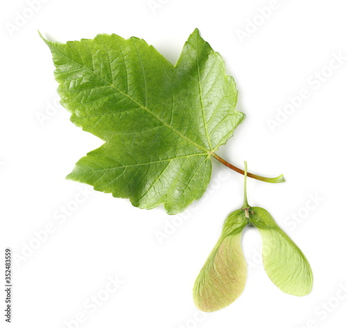 Photo Maple tree, acer pseudoplatanus, leaf and seed isolated on white background, top