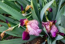 Iris Maroon-purple, In A Flowe...