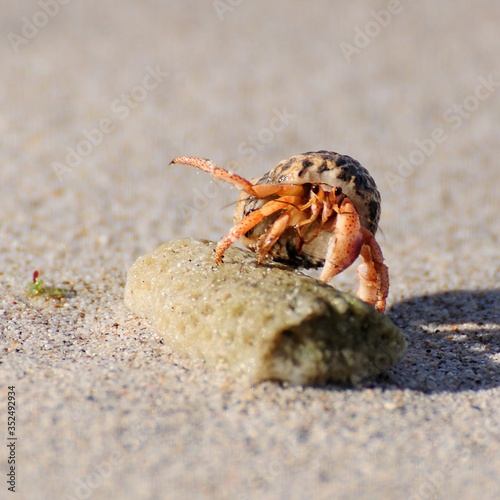 Fototapeta Close-up Of Hermit Crab On Stone At Beach