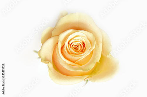 Close-up of a vibrant yellow-cream rose bud on a white background