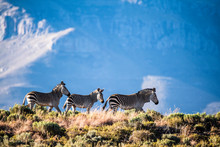Cape Mountain Zebra's In The A...