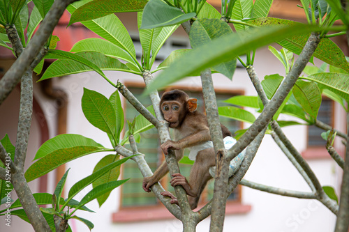 Photo A monkey wears diaper, bites a branch of tree in Ipoh, Malaysia.