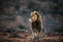 Male Lion Sitting Upright