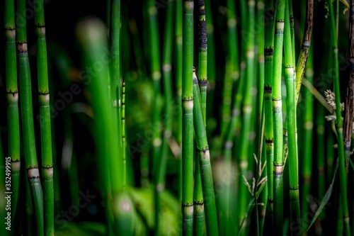 Photographie Fresh Green Bamboos In Forest
