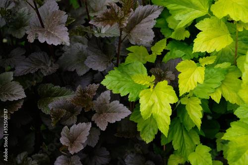 Fototapeta kontrastowe połączenie dwóch kolorów liści obraz