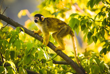 Black-capped Squirrel Monkey O...