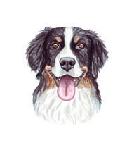 Watercolor Illustration Of A Funny Dog. Popular Dog Breed. Bernese Mountain Dog. Hand Made Character Isolated On White