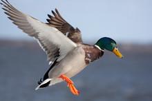 Male Mallard Duck Anas Platyrh...