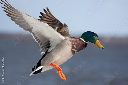 Fotografia Male mallard duck Anas platyrhynchos drake in flight against a blue winter sky i