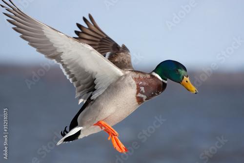 Stampa su Tela Male mallard duck Anas platyrhynchos drake in flight against a blue winter sky i
