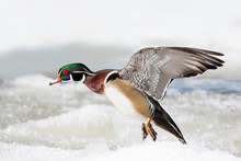 Wood Duck Male Taking Flight In Winter In Ottawa, Canada