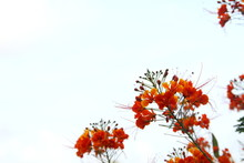 Orange Flowers And Buds Of The Flame Tree Or Royal Poinciana Are On Brushes And White Sky Background.
