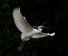 The Great Egret Flying Above A...