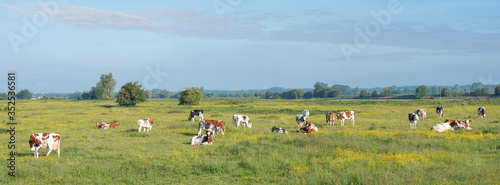 Fototapeta spotted cows in beautiful moring light in floodplanes of river Rhine opposite Amerongen in the netherlands obraz