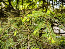 Coniferous Branches With Young...